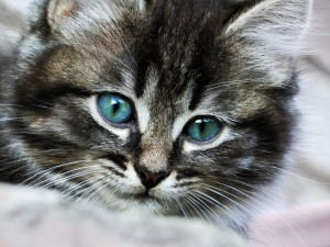 HD-Grey-Kitten-with-Blue-Eyes-Background